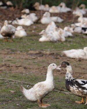 Grippe aviaire: 600.000 canards vont être abattus dans les Landes