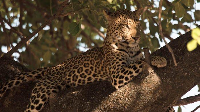 L'île aux léopards