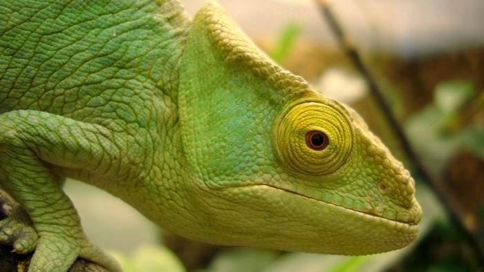 Madagascar, paradis des caméléons