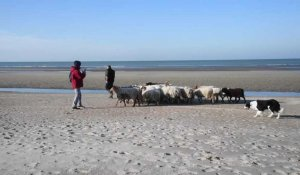 Bray-Dunes: transhumance des moutons vers Zuydcoote.