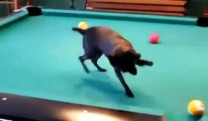 Un chien nettoie la table de billard
