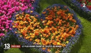 Pays-Bas : le plus grand champ de tulipes au monde