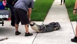 Même ligoté, un alligator reste un animal redoutable !