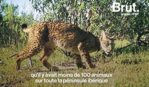 Le lynx ibérique, plus en danger critique d'extinction ?