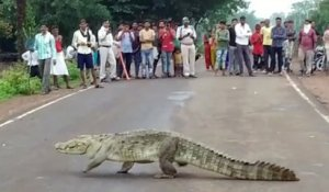Un crocodile traverse tranquillement une route