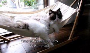 Un chat apprend à monter dans son hamac