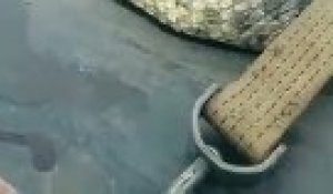 Ils capturent le plus gros serpent du monde : anaconda de 10m