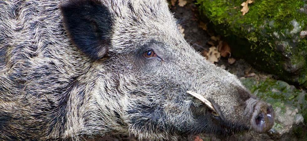 Hérault : un chasseur blessé par un sanglier